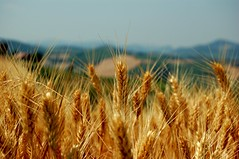 Wheat field - (Mornico Losana, 26 Jun 2006) (Simone Merli) Tags: nature d50 ilovenature nikon wheat nikond50 1855mm 1855mmf3556g wheatfield musedelelyse faveme2 faveme3 faveme4 faveme5 faveme1 faveme6 faveme7 raziks20 weareallphotographersnow tousphotographes wwwtousphotographesch sirsimon simonemerli sirsimoncouk