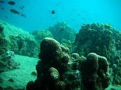 Underwater of Koh Tao Island, Thailand (_takau99) Tags: ocean trip travel sea vacation holiday fish uw nature water topv111 coral thailand topv555 topv333 nikon marine asia southeastasia underwater topv1111 topv444 dive july scuba diving 2006 topv222 thai samui tropical coolpix scubadiving s1 nikoncoolpixs1 tao kohtao gulfofthailand liveaboard nikoncoolpix coolpixs1  takau99 liveaboad