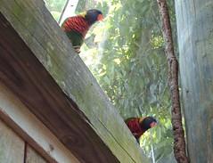 HPIM0174 (Fluff Bunny) Tags: birds zoo indianapolis lorikeets