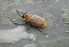 This is NOT a Macro (stellaretriever) Tags: insect costarica beetle bugs animalplanet rhinocerosbeetle goliathbeetle nikoncoolpix4100 animalkingdomelite