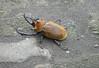 This is NOT a Macro (stellaretriever) Tags: insect costarica beetle bugs animalplanet rhinocerosbeetle goliathbeetle nikoncoolpix4100 animalkingdomelite