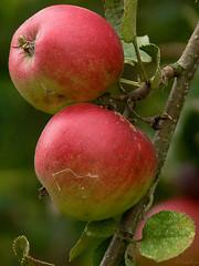 Appels (_FotoEye_) Tags: netherlands fruit nederland panasonic tuin groningen fz30 appels hoogkerk