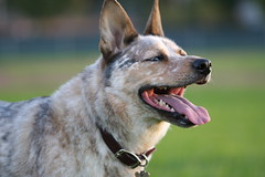 *catches his breath while continuing to take it all in* (hasfurrychildren) Tags: hasfurrychildren elroy australiancattledog img5400 blueeyedboy bokehsoniceaugust bokehsoniceaugust23