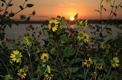 Sunflowers at Sunrise, Chatfield State Park, Littleton, Colorado (Thad Roan - Bridgepix) Tags: statepark lake beach nature water sunrise ilovenature colorado denver sunflowers wildflowers littleton 200608 chatfieldstatepark