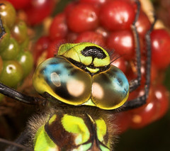 """Southern Hawker (Aeshna cyanea) Drago(3) • <a style=""""font-size:0.8em;"""" href=""""http://www.flickr.com/photos/57024565@N00/228484227/"""" target=""""_blank"""">View on Flickr</a>"""