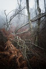 Horsford Woods 06/12/2016 (Matthew Dartford) Tags: a7rii batis bokeh fog foggy horsford mess mist tangled tree twisted chaos