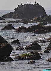 CormorantRock (mcshots) Tags: usa california socal losangelescounty coast beach birds seabirds feathers bird animals lowtide tidepools sealife kelp eelgrass plants seaweed rocks reef ocean sea sand nature travel stock mcshots