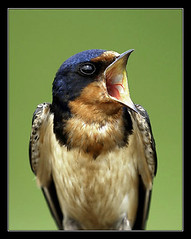 Shout - Barn Swallow (Jerry Ting) Tags: birds quality swallow barnswallow hirundorustica shout naturesfinest northchagrinreservation blueribbonwinner flickrexplore clevelandmetroparks featheryfriday birdphoto mayfieldheights animalkingdomelite superaplus aplusphoto