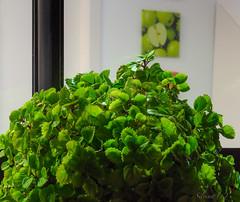 Verdolaga (silvina-Bordon) Tags: naturaleza verde green planta del canon hojas girona catalunya comes follaje dinero maceta canon600d