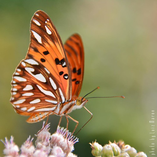 Butterfly at Boa Viagem Island - Brazil
