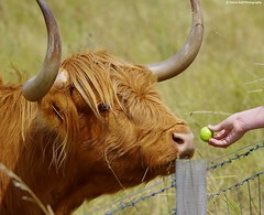 highland cattle  (3) (Simon Dell Photography) Tags: red cute nature field animals stone hair ginger high funny long cattle cows sheffield large horns reserve fluffy pit bulls highland valley lane blonde land beast 23 aug woodhouse 2015 s12 hackenthorpe shirebrook