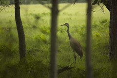 Sand Hill Crane June - 20 - 2015 - 1 (njumer) Tags: bird nature birds animal animals digital canon photography rebel photo sand photos crane wildlife hill cranes dslr vertebrate vertebrates t2i