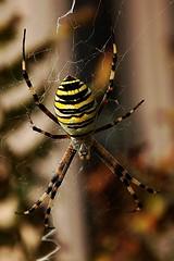 Argiope bruennichi (66Colpi) Tags: spider giallo nero ragno terrore zampe ragnatela ragnovespa ragnotigre