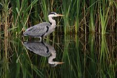 Grey Heron (martipa) Tags: reflection heron water reeds grey nikon sigma attenborough d810 150600mm