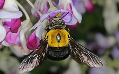 Female Great Carpenter Bee 2 (Jenny Thynne) Tags: insect australia brisbane bee queensland carpenterbee hymenoptera pollinator xylocopa koptortosoma greatcarpenterbee leiftincki