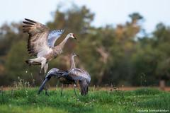 Sandhill  Crane - Crane Dance 3 (digithief) Tags: ca cambridge ontario canada birds nikon sandhillcranes d800 cranedance