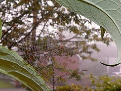 Bejewelled (Martha-Ann48) Tags: morning wet leaves dewdrops pattern buddleia spiders web trap bejewelled