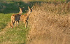 Roe Deer (Wouter's Wildlife Photography) Tags: nature animal mammal wildlife doe deer explore roedeer billund rådyr capreoluscapreolus