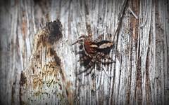 stripey bark male (dustaway) Tags: nature australia bark nsw arthropoda arachnida genus araneae jumpingspiders salticidae araneomorphae australianspiders northernrivers whitemahogany tullera euophryinae eucalyptusacmenoides spideronbark tullerapark