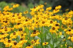 IMG_9465 (Jeff And) Tags: ireland plants flower gardens eire robinson floweres mountusher mountushergardens