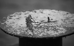 Autumn (Yvonne L Sweden) Tags: blackandwhite monochrome blw bokeh stilleben depthoffield hst svartvitt torkad