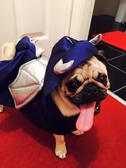 Dragon costume for dog (crafty_r) Tags: blue halloween silver costume wings dragon handmade pug