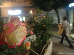 Rosa (Shiori Hosomi) Tags: november flowers plants rose japan night tokyo nocturnal rosa    rosales  rosaceae 2015   noctuary   flowersinthenight noctivagant 23