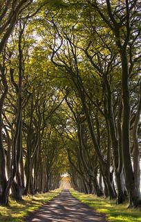 Beech Tree Avenue ~ Explored
