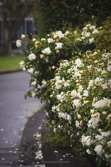 white rose bush (hueymilunz) Tags: white plant flower green nature garden flora wellington florafauna newzealandtransition