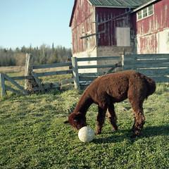 I Play Soccer With An Alpaca..... (BunnySafari) Tags: november film alpaca kodak farm portra benji yashicamat124g 2015 fpp