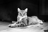 Foczka (iShootCandid) Tags: portrait blackandwhite bw pet face look animal cat pose eyes kitten pretty tabby poland naturallight ears whiskers purr meow neko paws wroclaw purrfect canon35mmf14lusm canon6d