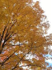 20151017_125435 (plussed) Tags: autumn fall maple foliage acer sugarmaple saccharum fall2015