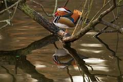 Mandarinente (rieblinga) Tags: park see ente geflgel mandarinente