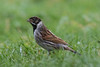 Male Reed Bunting (queeny63) Tags: elements