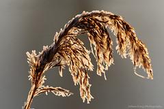 Meltdown of frozen reed (Johan Konz) Tags: oudelandsdijkje polder purmer purmerend waterland netherlands outdoor frost ice winter reed landscape nikon d90 macro backlight bokeh