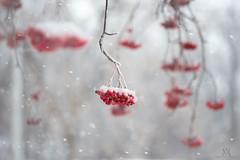 it's that time again! (marianna_a.) Tags: jarzebina red white bunch berries christmas snow winter canada mariannaarmata