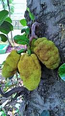 Tempos de jacas magras (José Argemiro) Tags: jaca jaqueira fruta verde jackfruit jacktree prenúncio vacasmagras leancows crise