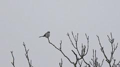 Varfågel Great Grey Shrike (Lanius excubitor) (Bjorn Johansson) Tags: varfågel greatgreyshrike laniusexcubitor shrikes