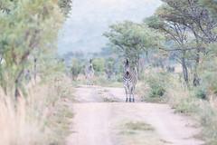 DSC_5487 (mylesm00re) Tags: africa burchellszebra equusquaggaburchellii limpopo welgevondengamereserve za sebra southafrica
