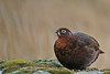 Red Grouse in the Glen (ruth spotlight) Tags: redgrouse red grouse bird nature wildlife perthshire glen