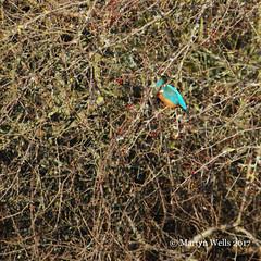 Kingfisher (mpw1421) Tags: nikon d60 braintree braintreeessex kingfisher bird wildbird river hedgerow winter berries fishing ngc theamateursgroup unlimitedphotos