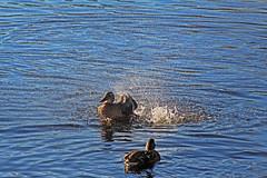 Splish Splash (alphazeta) Tags: duck ducks water splashing blue