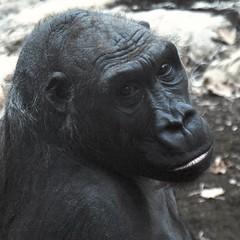Schimpanse - Chimpanzees (Helmut Stegmann) Tags: pan chimpanzees schimpansen congojungle nikon nikkor d5200 hellabrunn münchen munich ape welikeit afrika africa bayern bavaria germany deutschland oberbayern menschenaffe schwarz haar hair face gesicht portrait porträt chimps
