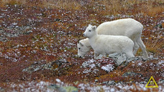Dall Sheep Mom and Baby (jerefolgert) Tags: dall sheep thinhorn ovis dalli alaska snow fall colors red orange yellow white eating young juvenile mother protecion flurries