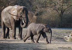 Olifanten (ditmaliepaard) Tags: olifanten safaripark beeksebergen hilvarenbeek a6000 sony