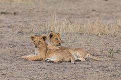 Little Angels? (Hector16) Tags: africa pride kenya wildlife olare predator dikdikpride sated pantheraleo olareorokconservancy family kicheche lion masaimara narokcounty ke