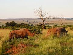 170 White Rhinoceros (Magic Moments by Pippa) Tags: southafrica pretoria rietvlet nature reserve wildlife game bigfive rhino rhionoceros nikon p900
