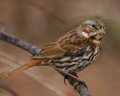 Fox Sparrow [Passerella iliaca] (Explored) (Fred Roe) Tags: lca71d2855 nikond7100 nikkorafs80400mmf4556ged nikonafsteleconvertertc14eii nature wildlife sparrow birds birding birdwatching birdwatcher foxsparrow passerellailiaca peacevalleypark