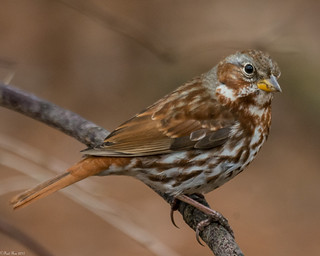 Fox Sparrow [Passerella iliaca] (Explored)
