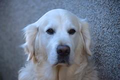 Casey (cascorn) Tags: goldenretriever handsomeboy